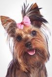 看起来一条逗人喜爱的约克夏狗小的狗的面孔愉快 图库摄影