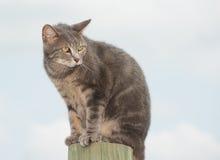 看起来不快乐的蓝色的虎斑猫担心 免版税库存照片