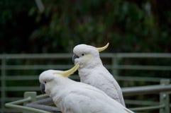 看起来两只白色大美冠鹦鹉的鸟前面 免版税库存照片