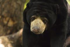 马来亚太阳熊 免版税库存图片