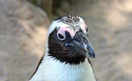 看起来公驴的企鹅好奇,特写镜头 免版税库存照片