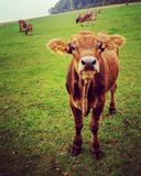看起来凉快的小牛感兴趣在草甸 免版税图库摄影
