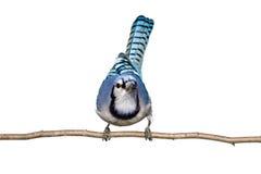 看起来前面蓝鸟的分行坐直接 免版税库存照片