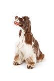 看起来副西班牙猎狗的斗鸡家狗 图库摄影