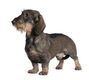 看起来去的达克斯猎犬常设 免版税图库摄影