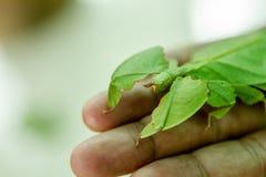 看起来叶子的昆虫 免版税库存照片