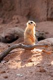看起来哀伤的Meerkat的哨兵混淆 免版税库存照片
