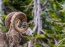 看起来大垫铁的绵羊正确与拷贝空间 图库摄影