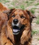 看起来大棕色的狗愉快 免版税图库摄影