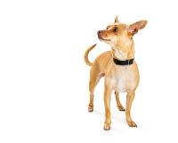 看起来奇瓦瓦狗的狗旁边与拷贝空间 库存照片