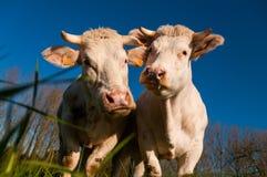 看起来好奇的牛惊奇 库存图片