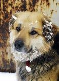 看起来好的雪的狗 库存图片