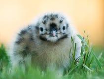 看起来小的海鸥逗人喜爱 免版税库存图片