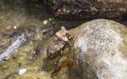 看起来岩石大眼蟾蜍臭虫Gelastocoris oculatus在被伪装的湖的臭虫 库存图片