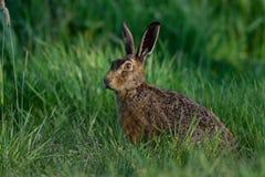 看起来布朗的野兔注意 库存图片