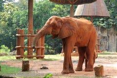 看起来平直的动物园的照相机大象 免版税库存图片