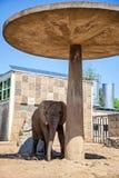 看起来平直的动物园的照相机大象 免版税图库摄影