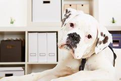看起来幼小拳击手的狗好奇 免版税库存照片