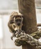 看起来幼小的吼猴好奇 免版税库存照片
