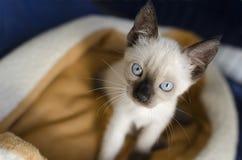 看起来暹罗的小猫 库存图片