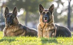 看起来机敏为画象的两条德国牧羊犬狗 免版税库存图片