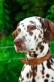 看起来棕色的达尔马提亚狗空白 免版税库存照片