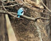 看起来森林地的翠鸟正确 免版税库存图片