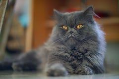 看起来灰色猫开会的选择聚焦 库存图片