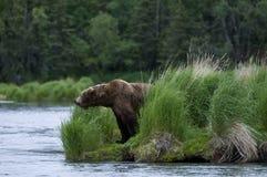 看起来熊的褐色三文鱼 免版税库存图片