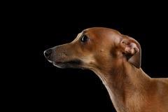 看起来特写镜头逗人喜爱的意大利灵狮的狗隔绝在黑色,外形 库存图片