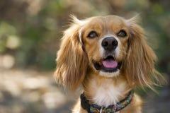 看起来狗逗人喜爱的可爱的俏丽的猎犬好奇和愉快的户外特写镜头 免版税库存照片