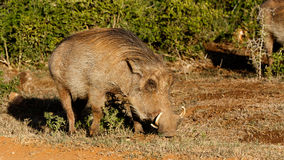 看起来狗非洲野猪属africanus共同的warthog 免版税库存照片