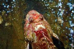 看起来珊瑚礁在海洋底部的奇怪的鱼 库存图片