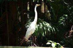 看起来白色的苍鹭好奇 免版税库存图片