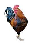 看起来的公鸡感到骄傲 免版税库存图片