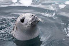 看起来的封印游泳和逗人喜爱在南极半岛 图库摄影