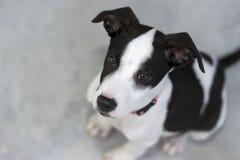 看起来的小狗逗人喜爱与大眼睛 免版税库存图片