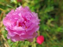 看起来的小美丽的桃红色热带花上升了 免版税库存图片