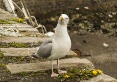 看起来的海鸥探询 免版税图库摄影