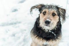 看起来的狗滑稽与在鼻子的雪 库存图片