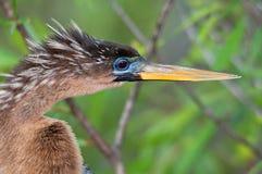看起来的美洲蛇鸟正确 图库摄影