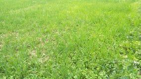 看起来的草美丽在庭院里 图库摄影
