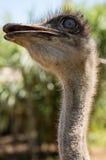 看起来的驼鸟意味深长 免版税库存照片