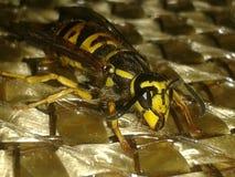 看起来的黄蜂好 免版税图库摄影