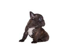 看起来老小狗副开会六的牛头犬对角法国题头对几星期 免版税库存图片