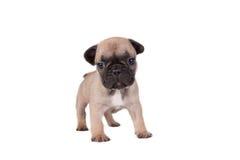 看起来老小狗副开会六的牛头犬对角法国题头对几星期 免版税库存照片