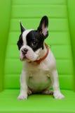 看起来老小狗副开会六的牛头犬对角法国题头对几星期 免版税图库摄影