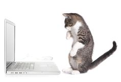 看起来计算机的小猫坐直 库存照片