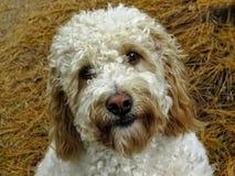 看起来逗人喜爱的Labradoodle狗的画象直直往前户外 免版税库存图片