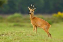 看起来骄傲的獐鹿的大型装配架鹿 免版税库存照片
